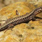 El lagarto ibérico está en riesgo de desaparecer