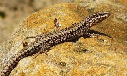 """<span class=""""entry-title-primary"""">El lagarto ibérico está en riesgo de desaparecer</span> <span class=""""entry-subtitle"""">El calor y la sequía amenazan a esta especie</span>"""