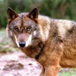 Ambientalistas apontam para os perigos que o lobo-ibérico enfrenta